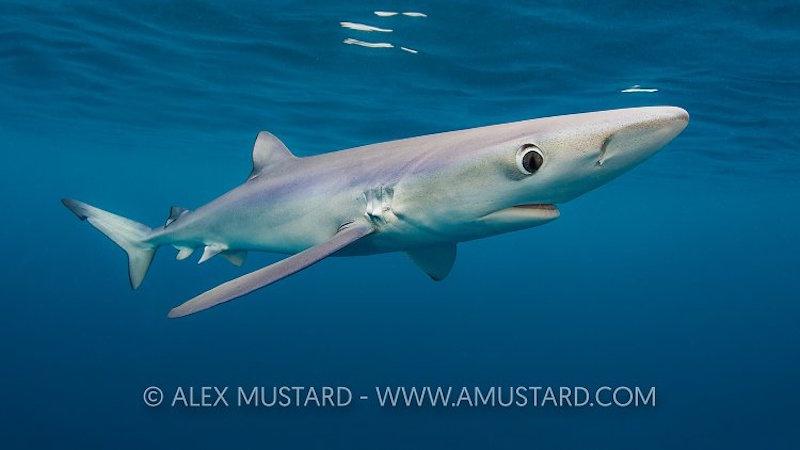 Blue Shark Below Surface. Cornwall, UK